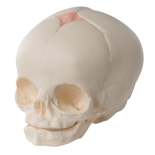 Anatomical Model - Foetal Skull Model Natural Cast 30th Week of Pregnancy