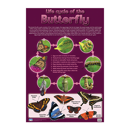 Butterfly, Life Cycle