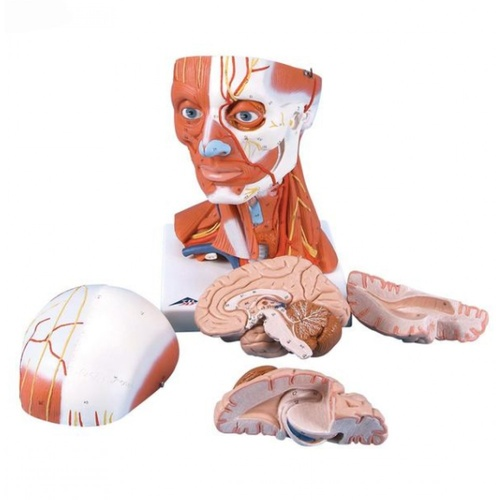 Anatomical Model- Head and Neck Musculature, 5 part