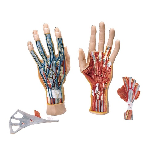 Anatomical Models about Hand Structure