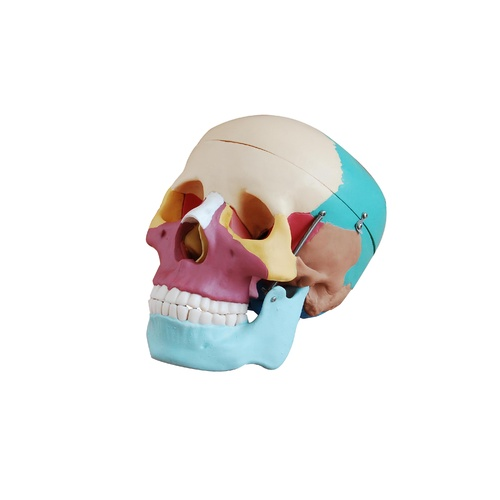 Anatomical Model Life-Size Skull with Colored Bones