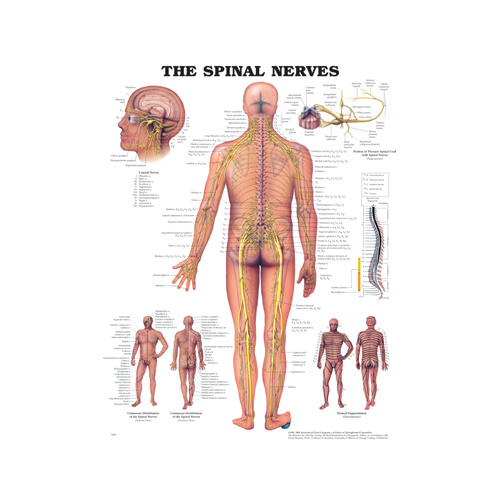 Anatomical Chart- The Spinal Nerves