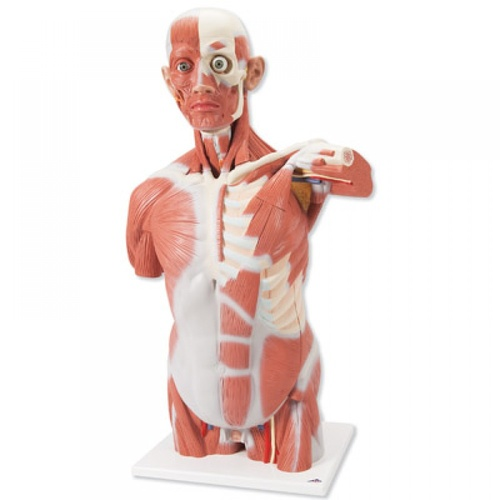 Anatomical Model- Life size Muscle Torso Model, 27 part